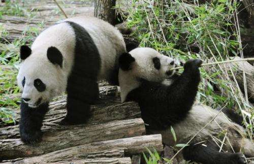 "Huan Huan (""happy"") (L) and Yuan Zi (""chubby""), two Chinese pandas, at Beauval zoo in central France on Janu"