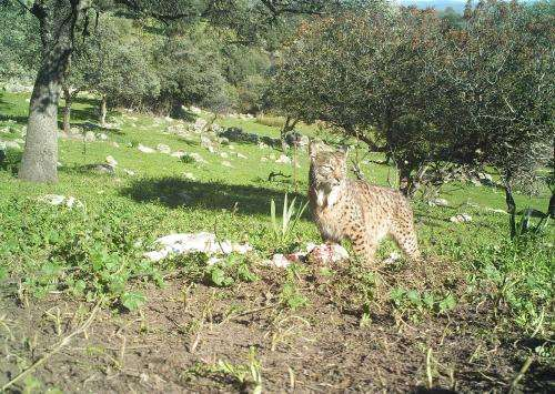 Iberian lynx attacks on farm animals are on the rise