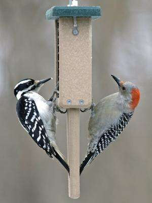 Increase in woodpecker populations linked to feasting on emerald ash borer