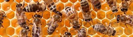 Insecticide causes changes in honeybee genes, research finds