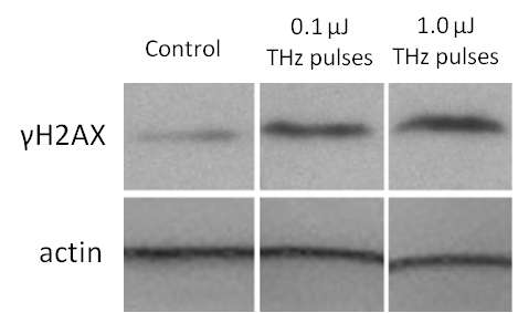 Intense terahertz pulses cause DNA damage but also induce DNA repair