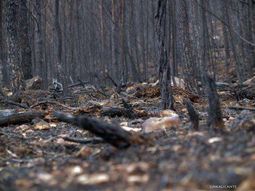Invasive Gramineae species propagate by wildfire in the Mediterranean and aid its spread