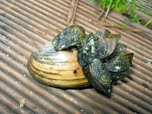 Invasive mussel is not harmed by toxins and invades the freshwaters of Europe and North America