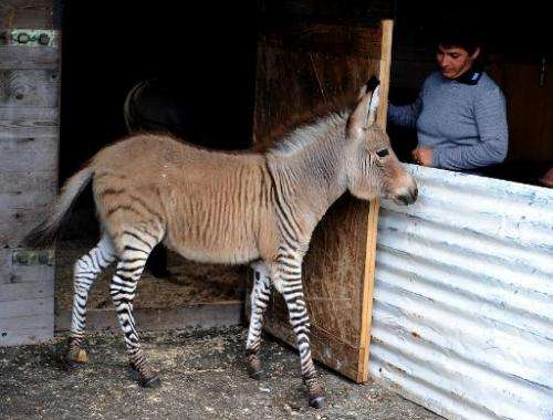 Ippo, a three month old zonkey, a cross between a zebra and a donkey, is seen in its pen at an animal shelter in Florence, on Oc
