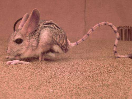 Jump for your life! Bipedal rodents survive in the desert with a hop, a skip and a jump
