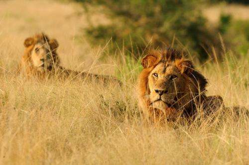 King of beasts losing ground in Uganda's paradise