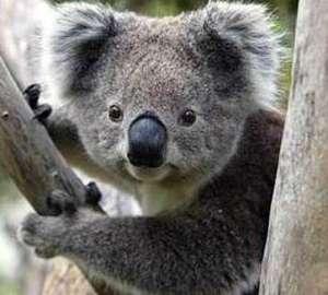 Koalas and mine site restoration