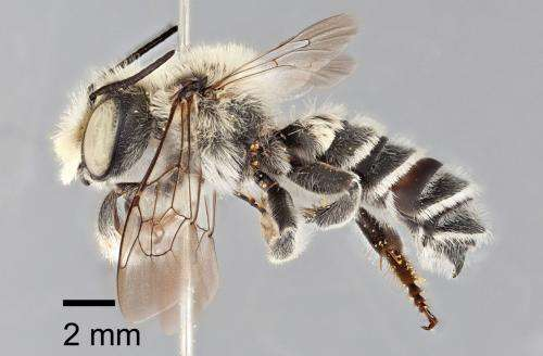 Let me introduce myself -- leafcutter bee Megachile chomskyi from Texas
