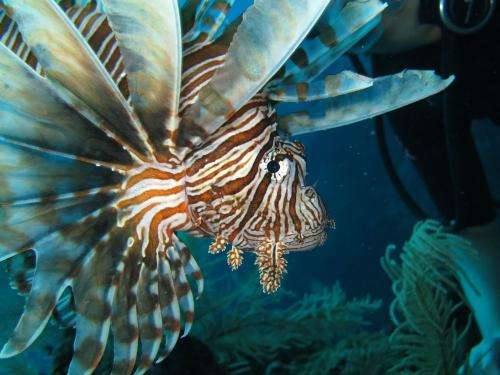 Caribbean's native predators unable to stop aggressive lionfish population growth
