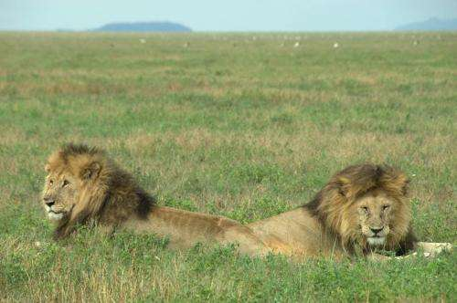 Lion numbers could improve with new sustainable hunting quotas