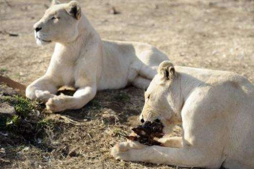 Lions bred for commercial use pictured on August 3, 2012 at Bona Bona Game Lodge in Wolmaransstad, South Africa