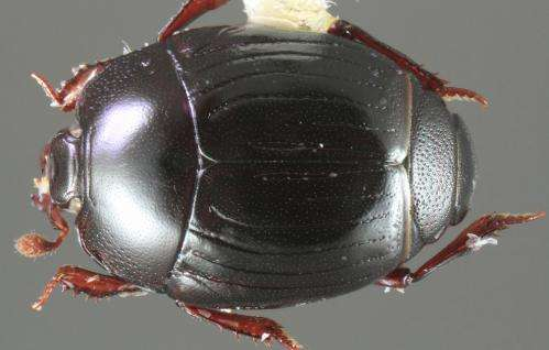Little did we know about beetle diversity: Astonishing 138 new species in a single genus