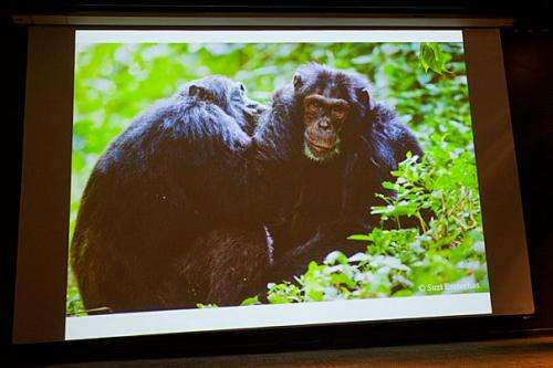 Looking at chimp's
