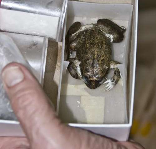 Lost frog DNA revived: Lazarus Project