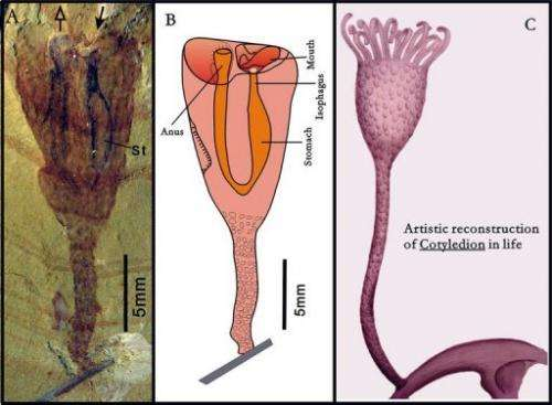 L-R: A Cotyledion tylodes fossil, a drawing, and an artistic reconstruction, as released on January 17, 2013