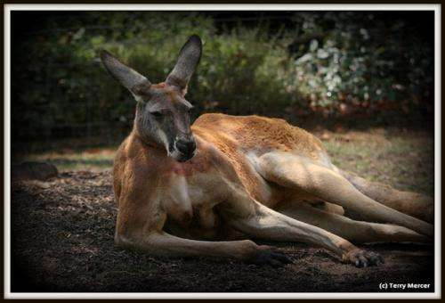 Male kangaroos woo mates with bulging biceps