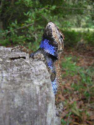 Male lizards prefer more-feminine lizards to 'bearded ladies,' new research finds