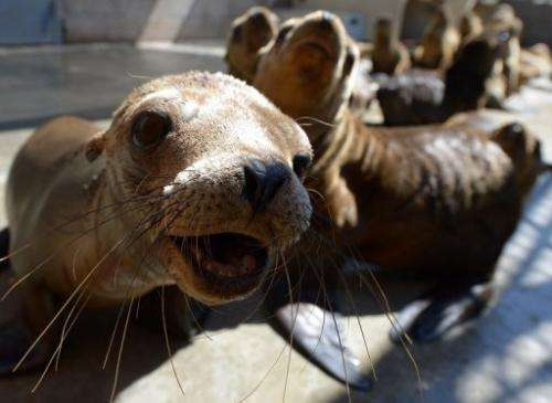 Malnourished sea lion pups recover at the Marine Mammal Care Center in San Pedro, California on April 9, 2013