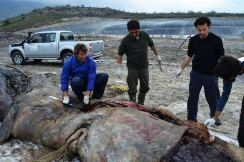Marine biologists pull a plastic canvas out of the stomach of a dead sperm whale on March 28, 2012