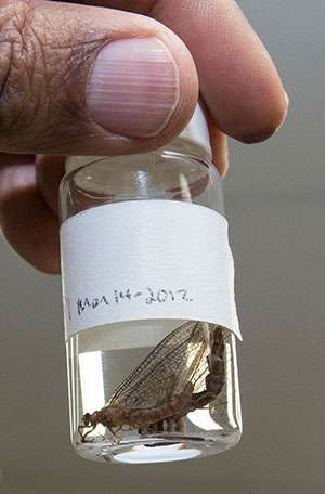 Mayfly reintroduction to Michigan bay