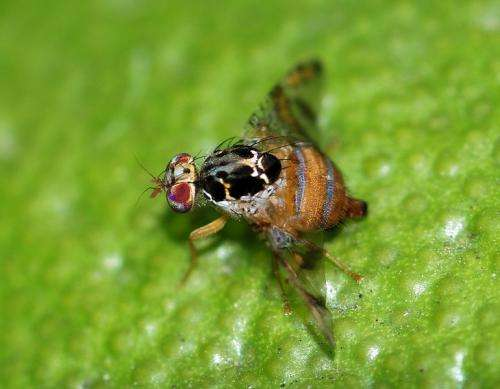 Medfly and other fruit flies entrenched in California, study concludes