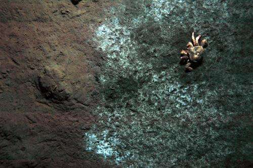 Methane seeps of the deep sea: A bacteria feast for lithodid crabs