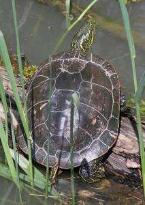 Mānoa: Western Painted Turtle genome decoded