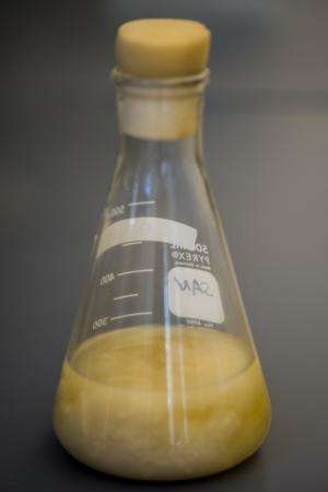 Modified bacteria turn waste into fat for fuel