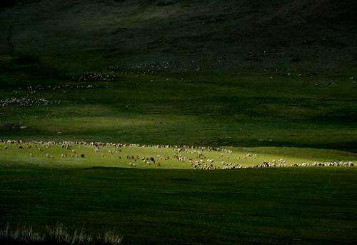 Mongolian sheep and cattle graze grasslands at the Hustai National Park in Mongolia on June 5, 2013