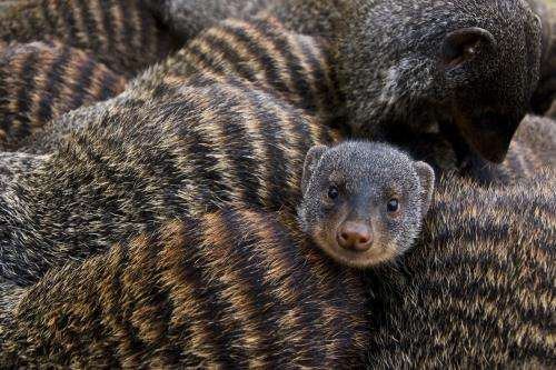Mongooses synchronize births to escape despotic females