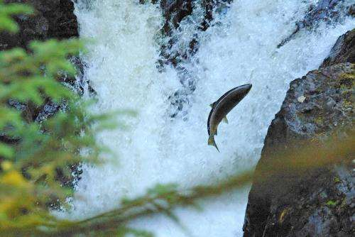 More salmon and more hydropower