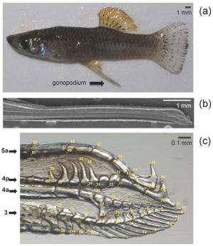 Mosquitofish Genital Shape Linked to Presence of Predators