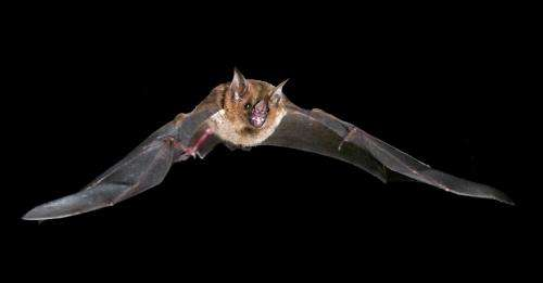 Muscle power: Bats power take-off using recycled energy