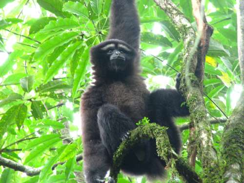 Myanmar critical for hoolock gibbon conservation