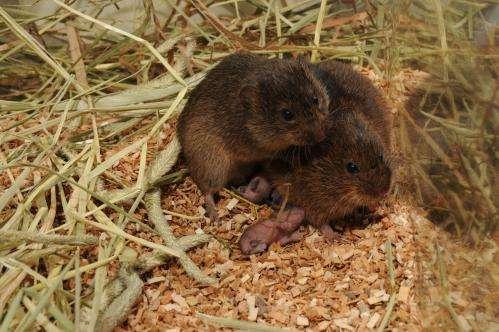 Researchers find epigenetic factor in monogamy for voles