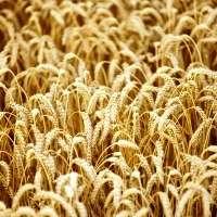 New Australia-China centre to map entire wheat protein genome
