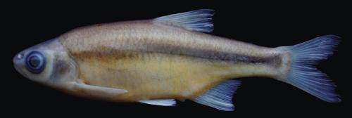New fish species described from the streams of Manyas Lake basin, Turkey