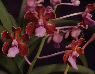 New orchid identified from Komodo