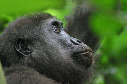 New park protects 15,000 gorillas