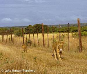 New report confirms almost half of Africa's lions facing extinction