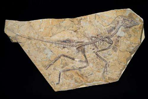 New study restores famed fossil to
