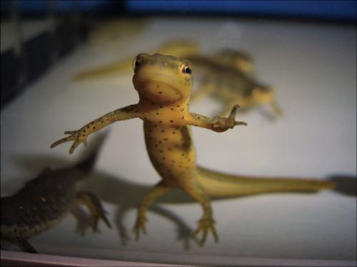 Newt transcriptome offers insight into tissue regeneration