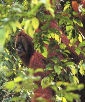 Orangutans plan their future route and communicate it to others