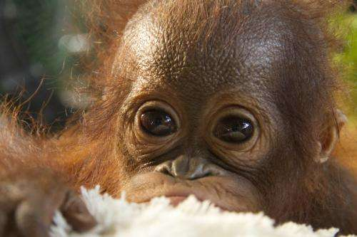 Orphan orangutans return to the wild