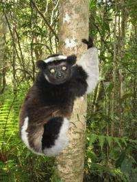 Parasites of Madagascar's lemurs expanding with climate change