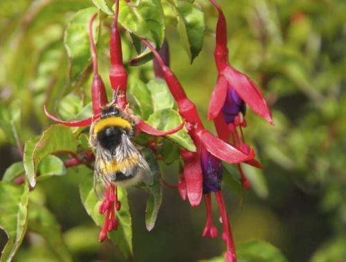 Peaceful bumblebee becomes invasive