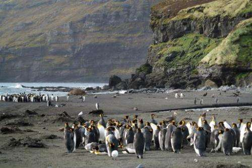 Penguins (Manchots royaux) gather on Possession island (Crozet archipelago), part of the French Southern and Antartic Lands on A