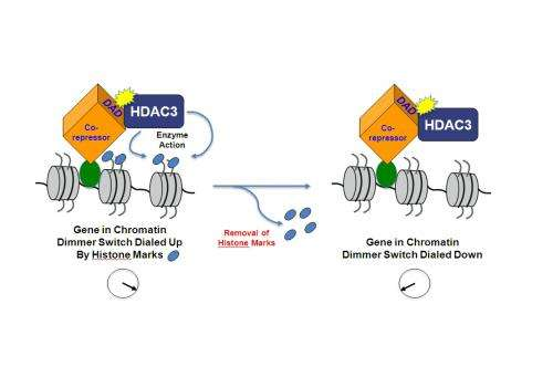 Penn Study Details Dimmer Switch for Regulating Cell's Read of DNA Code