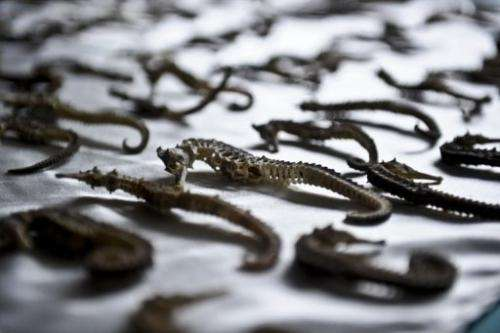 Peru's ecological police show seized seahorses in Lima on August 23, 2012