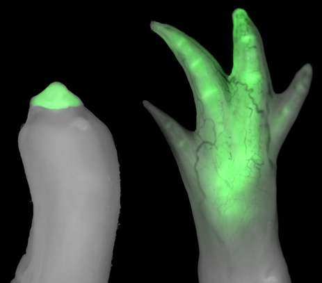 Grafted limb cells acquire molecular 'fingerprint' of new location, study shows